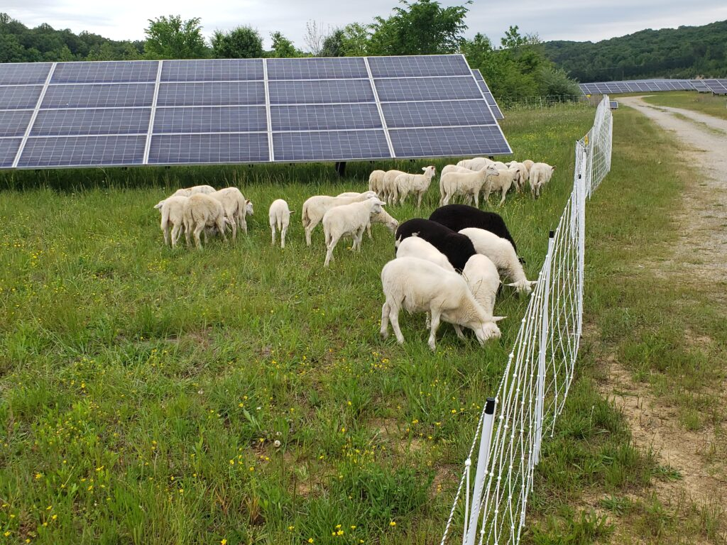 sheep-plus-electric-fence
